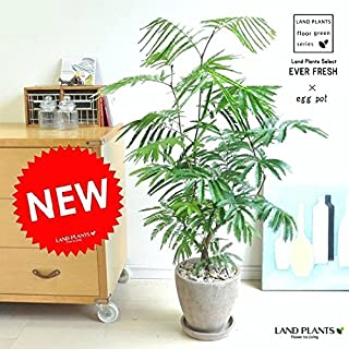 LAND PLANTS 【観葉植物】 エバーフレッシュ (茶色エッグポット)