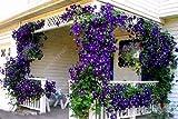 100pcs / bag Clematis semi clematide fiori semi di vite semi di fiori perenni rampicanti piante clematide bonsai vaso da giardino impianto 5