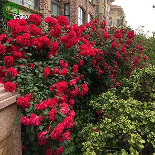 Lila Kletterrose Samen Blumensamen Bonsai Pflanze Für Hausgarten 50 Partikel/Lot Z015