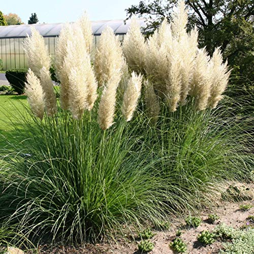 Znadna Seeds - American Pampas Grass Seeds Pampas (Cortaderia Selloana) Grass Seeds Ornamental Grass Flower Seeds Hardy Perennial