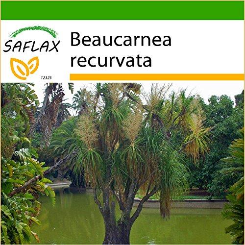 SAFLAX - Elefantenfuß/Flaschenbaum - 10 Samen - Mit keimfreiem Anzuchtsubstrat - Beaucarnea recurvata