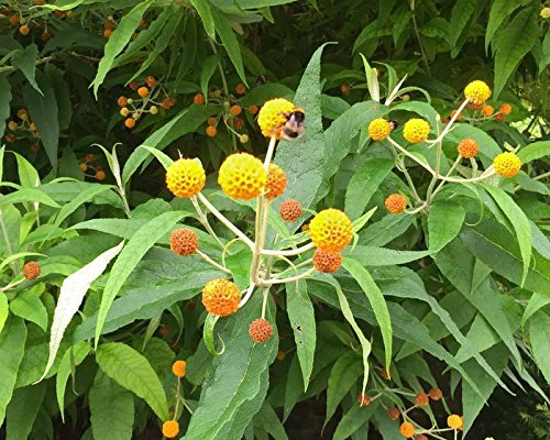 Buddleia globosa Golden Ball Schmetterling Bush RARE 20 Samen