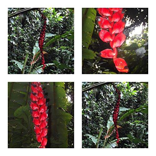 Heliconia nigripraefixa - spektakuläre Blüten - 5 Samen - Kübelpflanze - sehr selten !
