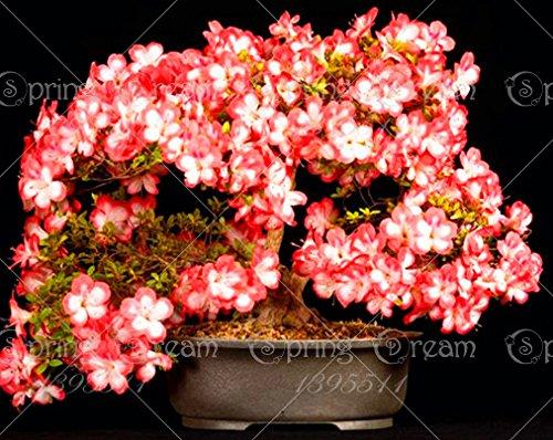 20 pcs / sac rares Bonsai 20 variétés Azalea Graines DIY Maison & Jardin Plantes Looks Like Seeds Sakura Japanese Cherry Blooms fleurs