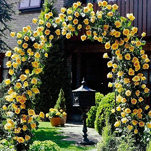 Fragrant 100pcs Rare Climbing Roses Rambling Rose, Hardy Perennial Flower Seeds for Gardening Flowers Climbing Plants for Walls, Fences, facades, Rose Arches and pergolas