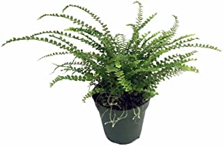 Best lemon button fern soil Reviews