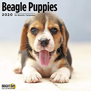 2020 Beagle Puppies 16 Month 12 x 12 Wall Calendar by Bright Day Calendars