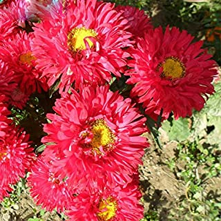 Hibiscus Sabdariffa Seed Vining Flowers Hot Selling Red Callistephus Chinensis Balcony Potted Plant Aster 120PCS