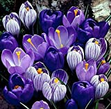 'Blue Moon' Crocus Mix - 10 Large Bulbs to Grow - Vibrant Purple and Blue Blooms. Perennial Flowers, Ships from Iowa, USA