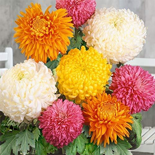 SAGEAWAY Las Semillas de Flor del crisantemo