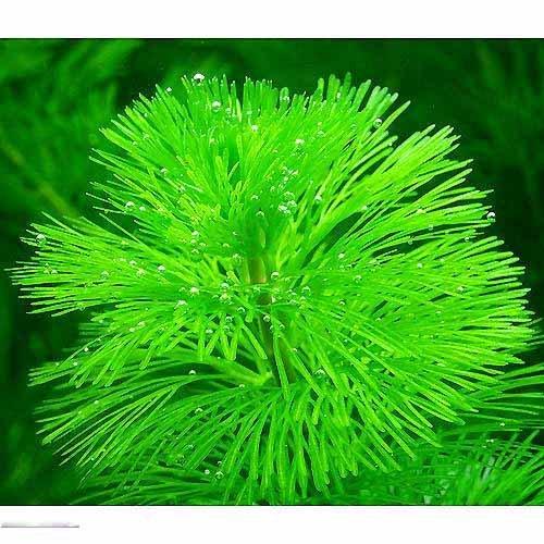 (水草)メダカ・金魚藻 カボンバ(バラ10本) 本州・四国限定[生体]