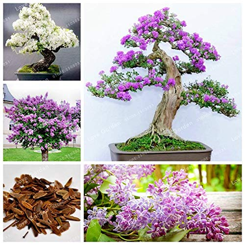 WANCHEN 50 Pcs Purple White Lilac Bonsai Lilac Clove Bonsai Flower Bonsai Tree Bonsai Potted Plant for Home Garden (Seeds not Plants)