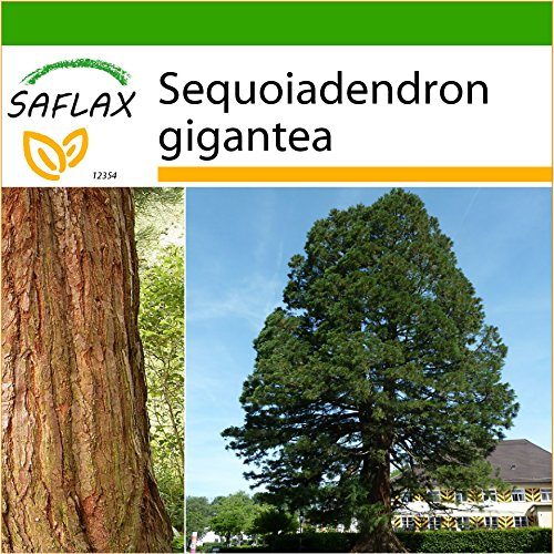 SAFLAX - Sequoia gigante - 50 semi - Con substrato - Sequoiadendron gigantea