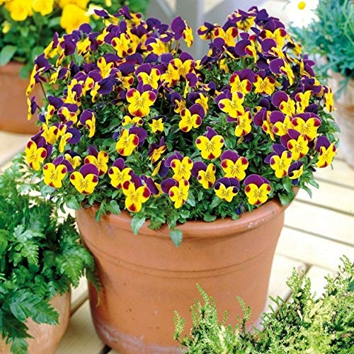 AIMADO Samen-50 Pcs Hornveilchen 'Johnny Jump Up' großes Blütenreichtum Blumensamen Bonsai Blumen Samen mehrfarbig Saatgut ideal für Töpfe