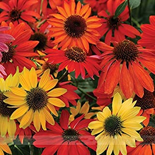 ADB Inc 50 Seeds Hardy 'Cheyenne Spirit Mixed' Perennial EchinaceaConeflower Seeds
