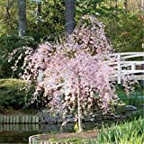SmartMe Live Plant - Dwarf Pink Weeping Cherry Tree 1 FT Flowering Ornamental Tree Garden Farm - Tree Plant