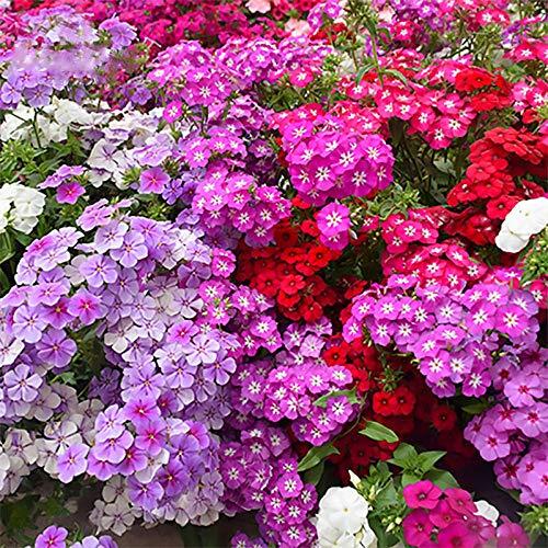 Eastbride Wildblumenwiese,5 Phlox Blumensamen, Frühlingssaat Balkon Gartenblumensamen-lila,Blumensamen winterhart mehrjährig