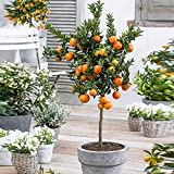 Mandarinier | Citrus...image