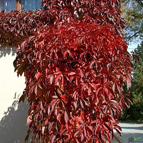 Wilder Wein Mauerwein Parthenocissus quinquefolia Kletterpflanze winterhart - 3 Sorten im Topf zur Auswahl (Parthenocissus quinquefolia Engelmannii)