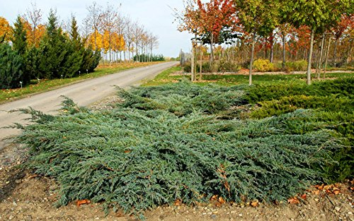 Blauer Kriechwacholder Bodenwacholder Juniperus squamata Blue carpet Containerware 20-30 cm