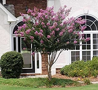 Muskogee Lavender Crape Myrtle Tree - Full Gallon - 2-4 Feet Tall