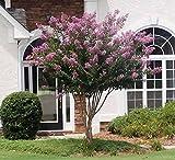 Muskogee Lavender Crape Myrtle Tree - Full Gallon - 2-4 Feet Tall