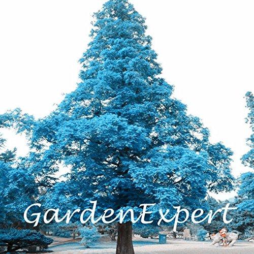 100pcs bleu japonais Pin Graines Pinus thunbergii Graines Bonsai Graines Grand arbre bricolage jardin Livraison gratuite