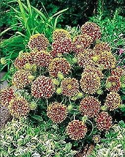 Gaillardia Sundance Bicolor Annual Flowers Seeds 1,000 Pcs an