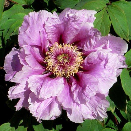 10 pcs/sac graines de pivoines Terrasse Cour Jardin Paeonia Suffruticosa Graines de fleurs vivaces plantes en pot pour le jardin de la maison 12