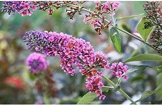 Buddleia Bicolor Butterfly Bush Starter Plant #WD01
