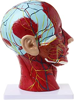 Vitality-Store Human Anatomical Half Head Model, Life Size Replica Anatomy Face Brain Neck Median Section Study, Nerve Blood Vessel Model for Teaching