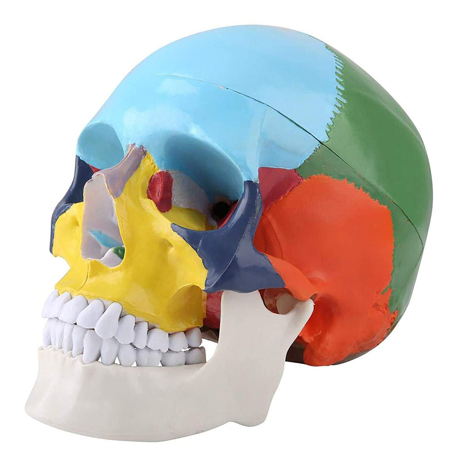 Max 57% Large special price !! OFF ZLF Teach Instrument Coloured Adult Skull Medic Human Anatomical