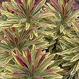 Euphorbia martinii 'Ascot Rainbow' 15cm Pot Size