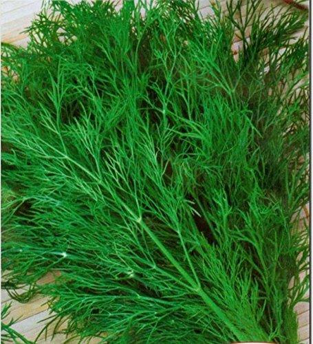100% naturel 2000 pcs/sac à l'aneth Graines aromatiques Graines Facile plantation en plein air Accueil de plantation agricole jardinage
