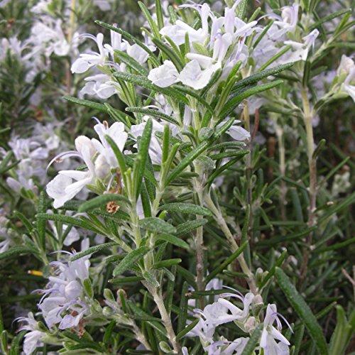 Blumixx Stauden Rosmarinus officinalis 'Arp' - Rosmarin, im 0,5 Liter Topf, hell-violett blühend