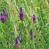 Outsidepride Purple Prairie Clover - 1000 Seeds