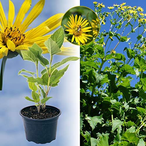 10 x Durchwachsene Silphie: Bienenweide & Energiepflanze, Bienen-Futter- und Tracht-Pflanze, langblühend, bot. Silphium perfoliatum, Becherpflanze, statt Mais f Biogas (10x-Silphie 2-3 l Topf)