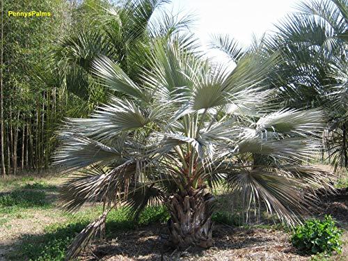 PLAT FIRM KEIM SEEDS: 10: Brahea armata (blau Hesper Palm) - Frische Samen!