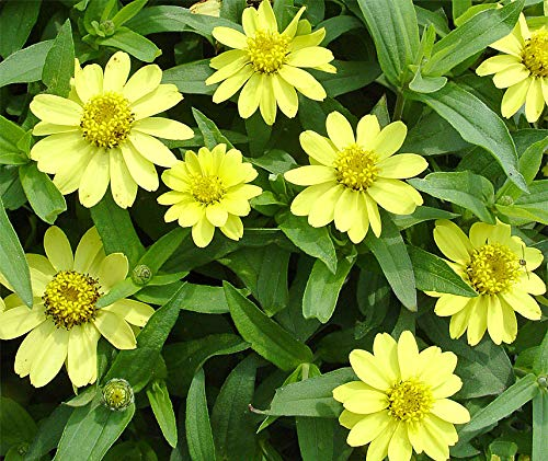 Bobby-Seeds Zinnien Samen Zinnie Zahara Yellow Portion