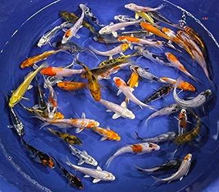 Blue Ridge Live Koi Fish Standard Fin - Garden Pond, Aquarium and Tank, Healthy and Bio-Secure - Grade A