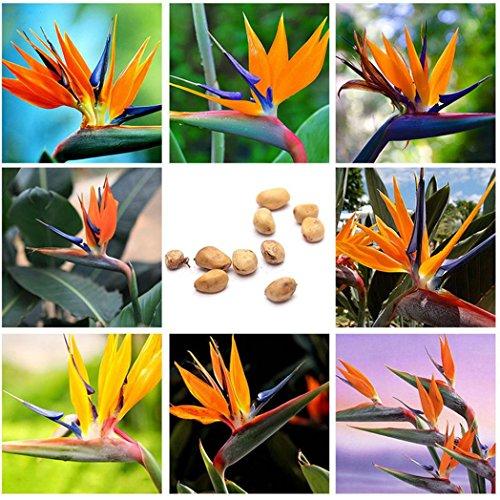 10pcs Strelitzia reginae Paradiesvogelblume Strelitzie Blume Pflanze Samen