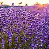 600 semi di lavanda semi di fiori selvatici facili da coltivare attirano api e farfalle