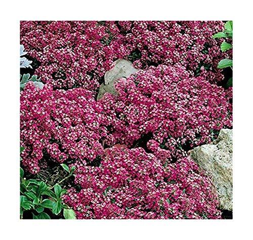 Steinkraut - Alyssum Royal Carpet - Lobularia maritima - Blume - 500 Samen