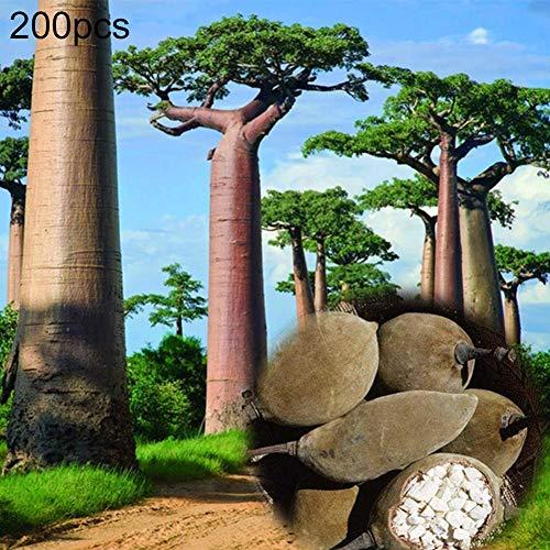 Catkoo Samen,200 Stücke Baobab Mehrjährige Pflanze Baum Samen Garten Hof Street Field Outdoor Decor Geeignet Balkon,Wohnzimmer,Garten,Weihnachtsdekoration 200pcs Baobab Seeds