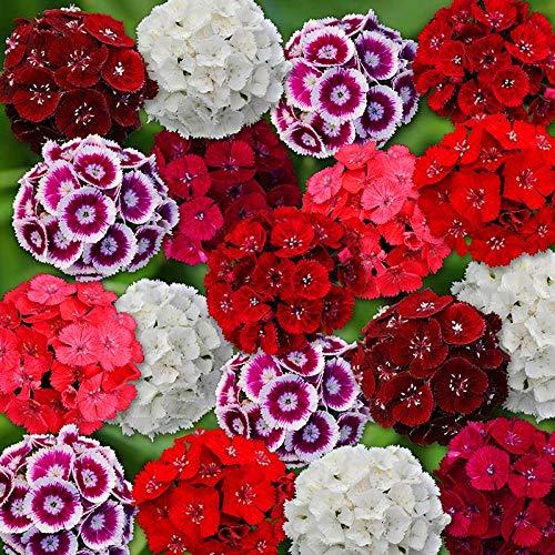 Perenne Fragrante Semi,Colorate Dianthus Dianthus Americano Changxia Dianthus Confezione Mista Semi di fiori-10000 Capsule,Semi Fiori Rari Profumati Piante
