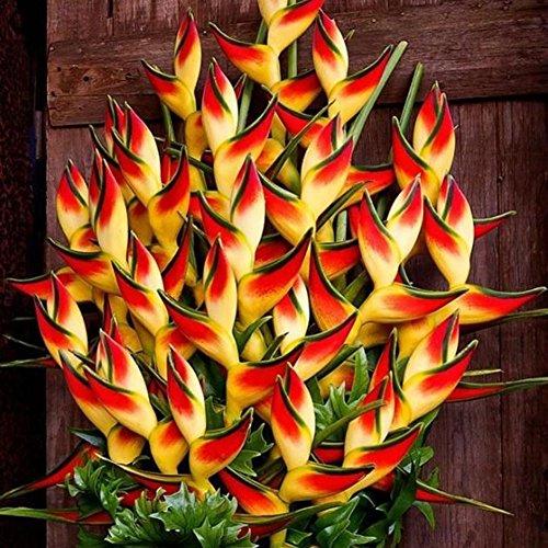 XQxiqi689sy 50 Stück Selten Heliconia Wagneriana Zierpflanzensamen Hausgarten Hofdekoration