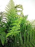Bodendecker Brauns Schildfarn - Polystichum braunii - verschiedene Größen