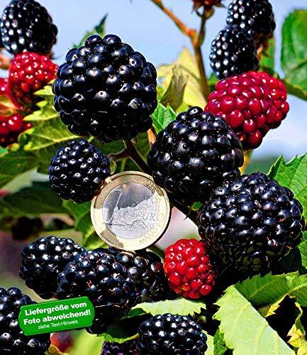 BALDUR Garten Zuckerbrombeere Asterina® 1 Pflanze Rubus fruticosus winterhart Brombeerpflanze Brombeerstrauch