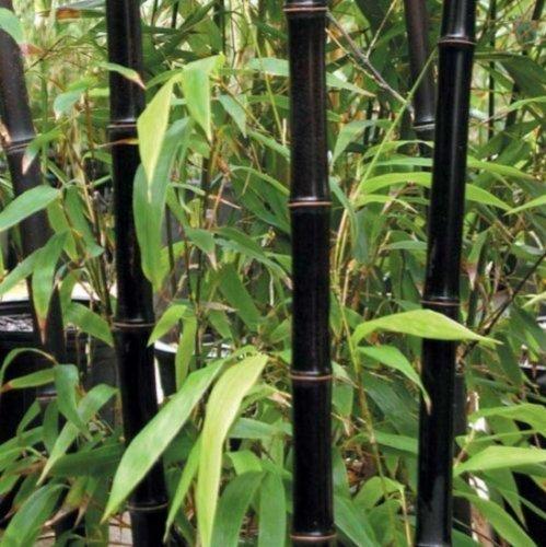 200 graines de bambou noir Phyllostachys Nigra
