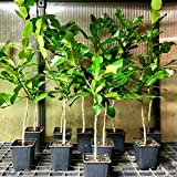 Kaffir Lime Tree Grafted - Citrus Hystrix - Makrut Lime Plant - No Shipping to CA, AZ, TX, LA, MS, AL, GA, FL, SC and Outside of The Lower 48 States